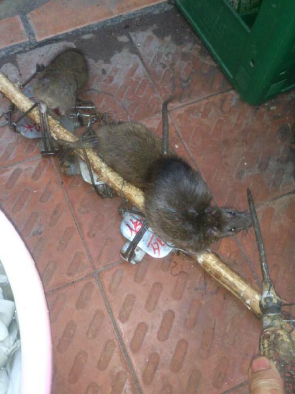 大中小号钢丝老鼠夹子 - 立式弹簧套|捕鱼药|捕虾药